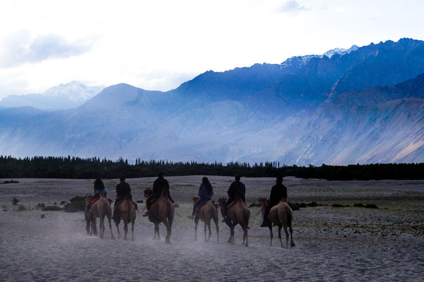 Double humped wild camels Animal Themes Beauty In Nature Camels Day Desert Double Hump Camels Hundar Landscape Large Group Of Animals Mountain Mountain Range Nature Nubra Valley Outdoors Riding Sand Dunes Scenics Sky Tranquil Scene Tranquility Wild Camels