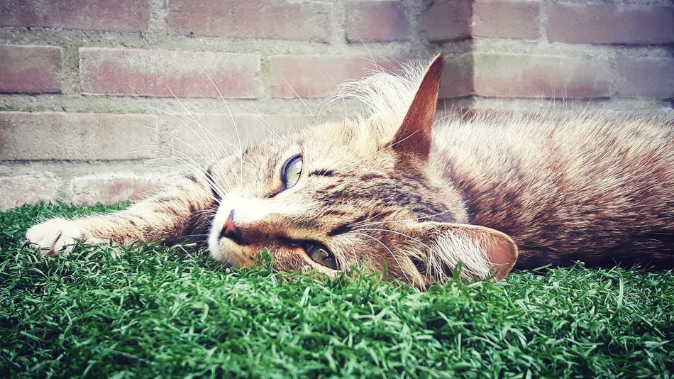 Lovely Cute Nature Cat Lovers Cats Of EyeEm Cat Photography Photography Kitten Love Light Leopard Relaxation Feline Pets Lying Down Sleeping Grass Close-up Cat Kitten Sleepy Whisker Domestic Cat Cat Family Tabby Cheetah Tabby Cat Domestic Animals Home