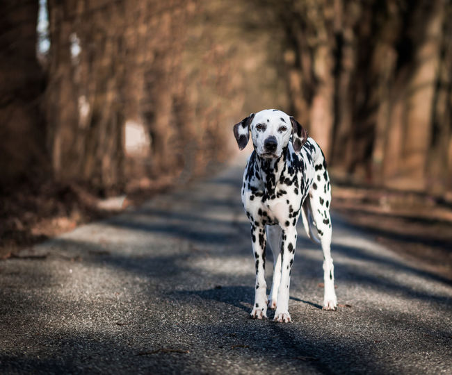 Dalmatian on a street surrounded by trees Dalmatian Pet Photography  Animal Themes Dalmatian Dog Day Dog Dog Portrait Domestic Animals Mammal Nature No People One Animal Outdoors Pets Spotted Walking
