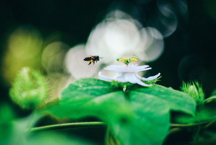 Hovering Bee Animal Themes Beauty In Nature Bee Blooming Buzzing Flower Flower Head Fragility Honey Insect Leaf One Animal Petal Pollination Selective Focus The Great Outdoors - 2017 EyeEm Awards