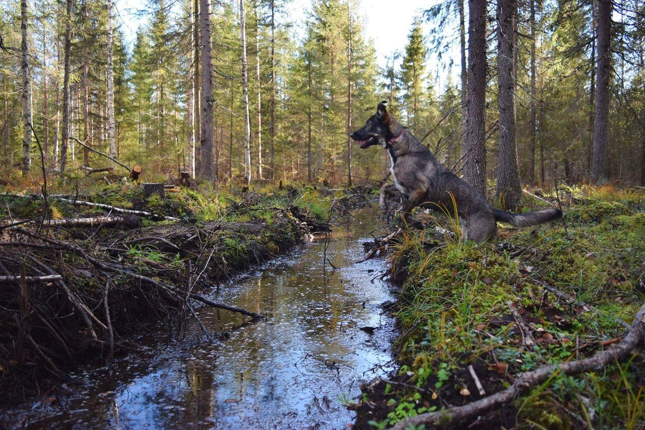 forest, tree, nature, day, one animal, woodland, outdoors, no people, mammal, tree trunk, dog, animal themes, water, beauty in nature, sky