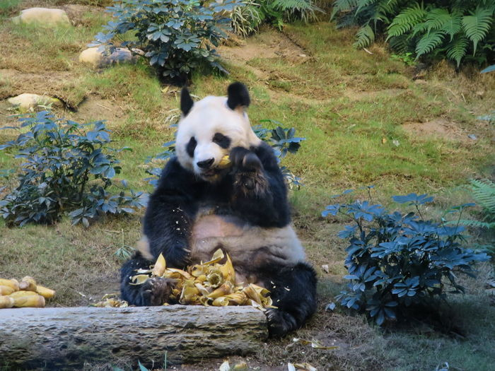 Animalpark Bear Day Eating Feedingtime Grass Growth Hungrypanda Mammal Nature Panda Plant Portrait