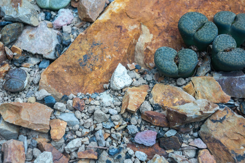 Desert barren backdrop of colourful gravel and rocks with dark green lithops fulviceps cactus