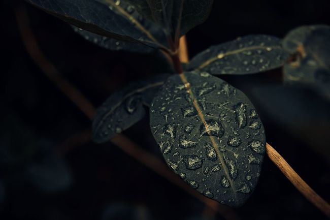 Dark Drops EyeEm Best Shots EyeEmNewHere Leaves🌿 Rain Drops Rainy Days The Week On EyeEm Water Droplets Close-up Day Green Leaves Leaf Leaf Vein Leaves Night No People Outdoors Water On Leaf Wet Leaves