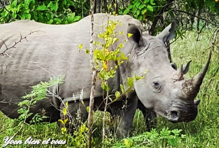 rhinocéros Voyage Trip View Cute Life Vacations South Africa Yvonbien Trip Holiday Freedom Grass Mammal Animal Wildlife No People Day Rhinoceros Outdoors Animals In The Wild Animal Themes Nature