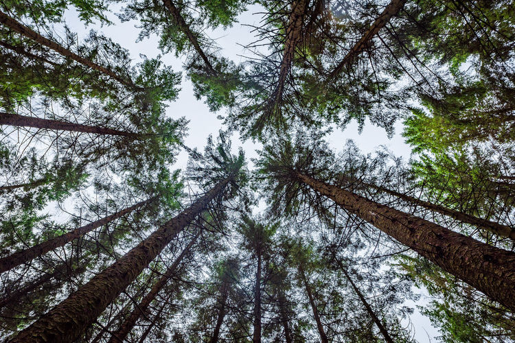 Upward view of pine trees inside the Galloway Forest, Scotland. Perspective Scotland Tranquility Wood WoodLand Coniferous Tree Directly Below Forest Forest Photography Land Look Up Low Angle View Nature No People Outdoors Pine Tree Pine Trees Pine Woodland Plant Tall - High Tree Tree Canopy  Tree Trunk Trunk WoodLand