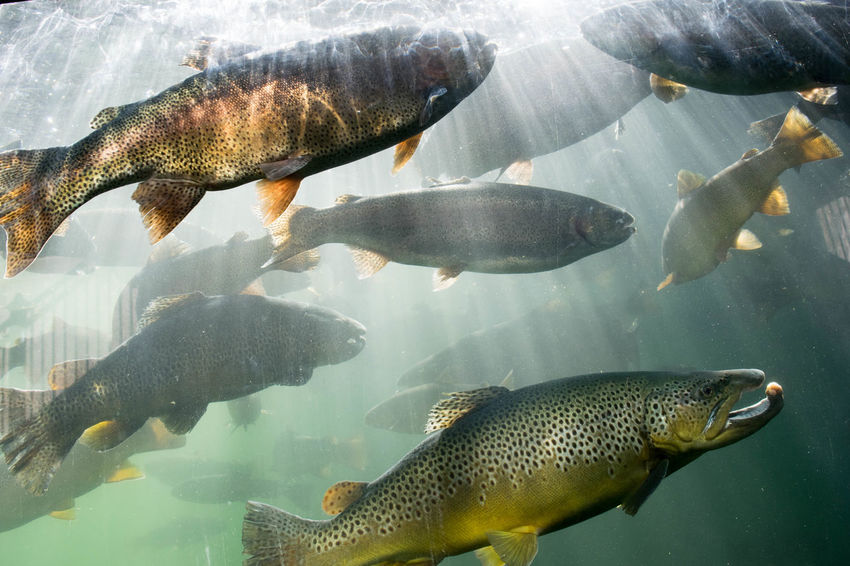 Animal Animal Themes Aqua Aquarium Aquarium Life Filter Fins Fish Fishing Gills Light Rainbow Trout Scales Swim Swimming Swimming With The Fish Trout Trout Farm Underwater Underwater Photography Underwaterphotography Water