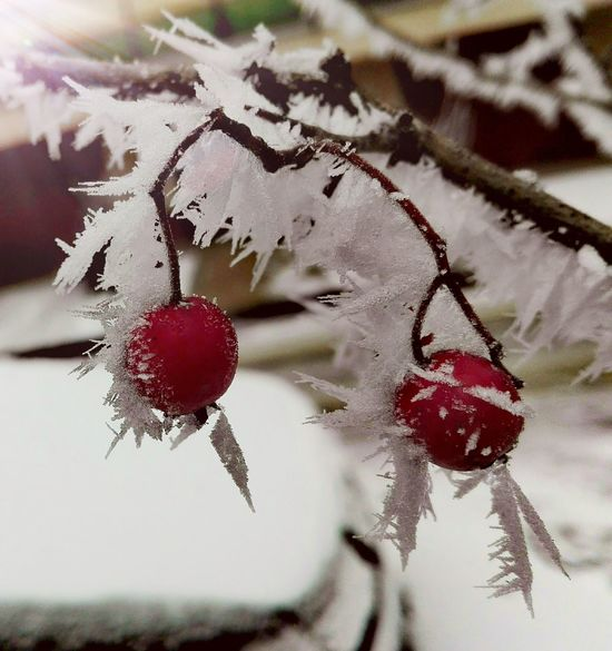 Red Nature Winter Close-up Outdoors Day Berry Ice Morning Morning Light Sunshine Light Huawei Huaweiphotography Huaweip8 Lite