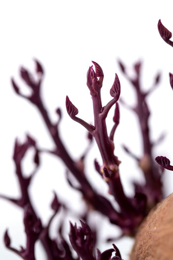 Close-up of dry flowers against white background