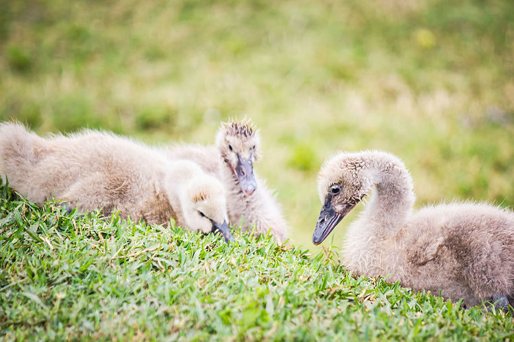 Close-Up Of Cygnets On Grassy Field