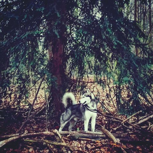 Animal Themes Tree Forest Mammal No People Togetherness Young Animal Branch Outdoors Animals In The Wild Nature Day Husky Dog Lover Dog❤ Dogslife Dogstagram Doglover Pets Dog