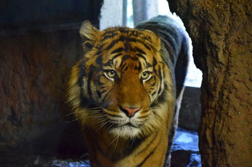 Tiger Majestic Walking Blijdorp Rotterdam