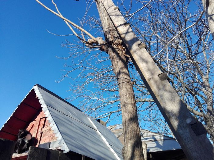 Ladder On A Tree Cat Blue Sky Wooden Ladder Bare Tree Acacia Tree WOLFZUACHiV Photography Wolfzuachiv Tree Blue Bare Tree Sunlight Sky Architecture Building Exterior Built Structure Close-up