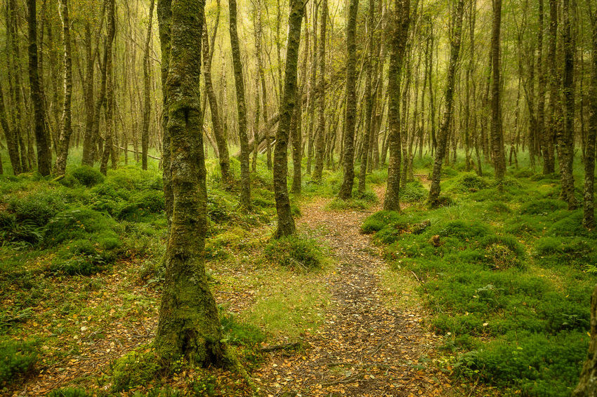 Glendalough Ireland Wicklow Glendalough Tree Forest Lush - Description Tree Trunk Lush Foliage WoodLand Grass Green Color Landscape Pine Woodland Coniferous Tree Growing Young Plant Blooming