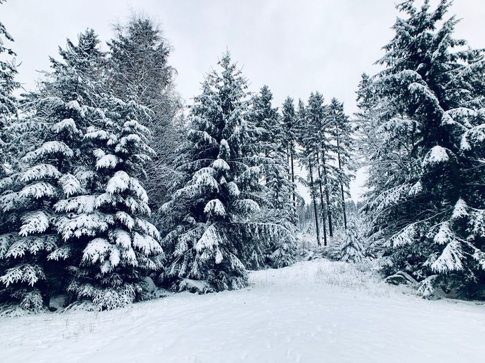 Winter Tree Plant Snow Winter Cold Temperature Sky Nature Tranquility Land Growth Environment Outdoors Cloud - Sky Day Scenics - Nature White Color Non-urban Scene Coniferous Tree No People Beauty In Nature