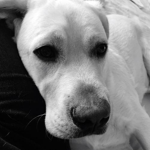 Eyes of ink Golden Labrador Whisker Close-up One Animal Domestic Animals Miltonbiscuit Blackandwhite Ilovemydog Labrador Pet Portraits
