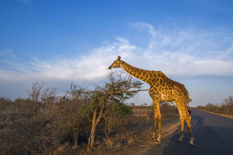Giraffe standing on road against sky