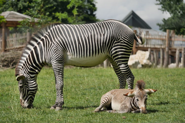 Zebras mum and foal