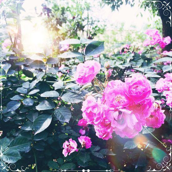 希望以后能有一个小院子,周围有一圈木栅栏,里面种上漂亮的蔷薇花。