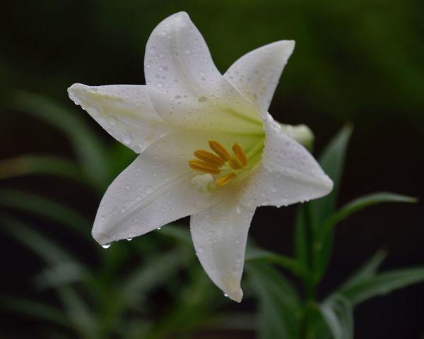 百合花 花卉