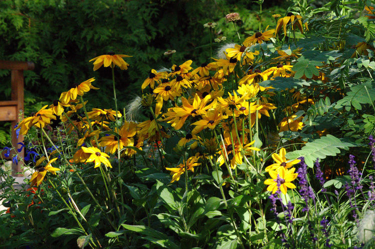 Flowerbed Beauty In Nature Black Eyed Susan Close-up Day Flower Flower Head Flowerbed Flowerbeds Flowering Plant Fragility Freshness Front Or Back Yard Garden Growth Inflorescence Nature No People Outdoors Petal Plant Plant Part Vulnerability  Yellow