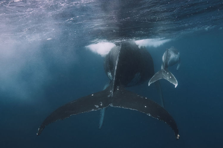 Whales swimming in sea