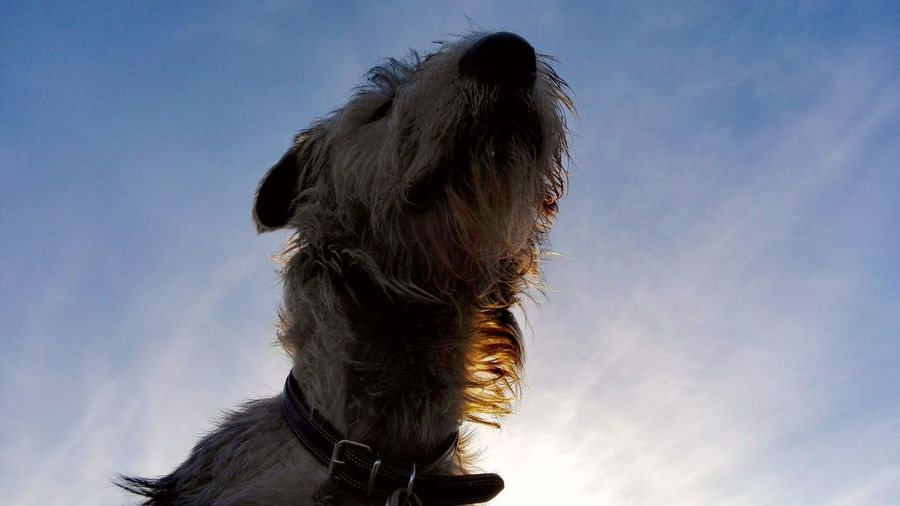 Sky Animal Themes One Animal Outdoors December 2016Autumn 2016 Weather Cearnaigh Irish Wolfhound Showcase December Dogslife Dogs Of EyeEm Dogs Of Winter Blue Sky Low Angle View Dog Of The Day Dogwalk
