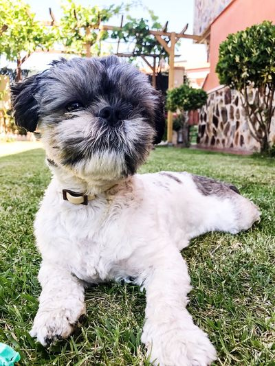 Dog Pets One Animal Grass Domestic Animals Animal Themes Shih Tzu Outdoors Mammal Day Looking At Camera Portrait No People Close-up