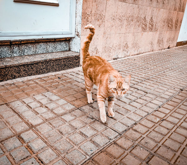 a cat coming towards you Pavement Gate Street SPAIN Street Cat Orange Color Ginger Cat Pets Feline Domestic Cat Full Length Animal Themes Ginger Cat Tabby Whisker Tabby Cat Yellow Eyes Cat