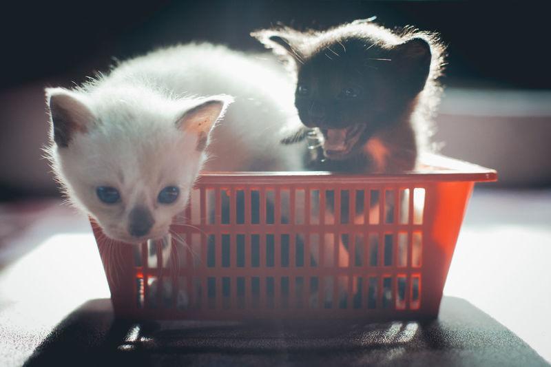 Animal Themes Day Domestic Animals Domestic Cat Feline Full Length Indoors  Kitten Mammal No People Pets Portrait