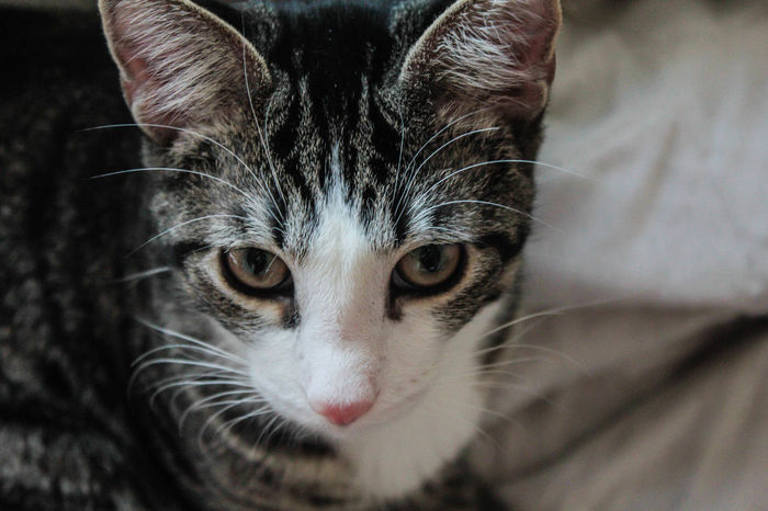 Animal Face Animal Themes Cat Cat Face Cat Whiskers Close-up Day Domestic Animals Domestic Cat Feline Indoors  Jedi The Cat Jedi The Kitten Kitty Nose Looking At Camera Mammal Mischievous Mischievous Cat No People One Animal Pets Portrait Whisker