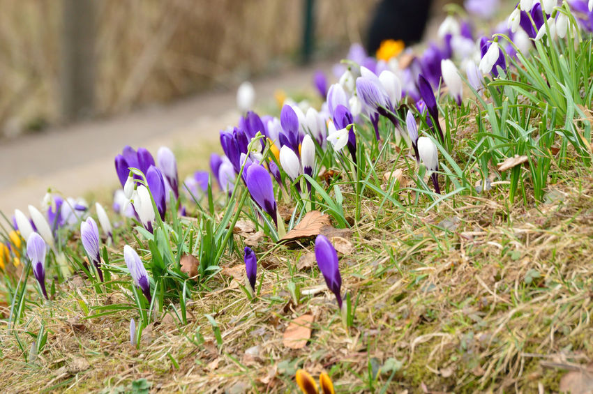 Flower field Beauty In Nature Blooming Close-up Crocus Day Field Flower Flower Head Fragility Freshness Grass Growth Nature No People Outdoors Petal Plant Purple Selective Focus Snowdrop