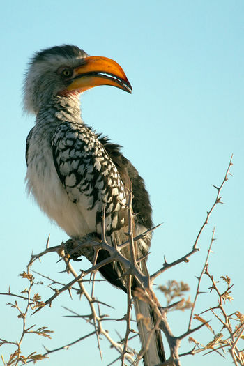 Low angle view of hornbill perching on plant against clear sky