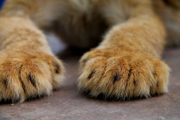 Baby lion paws Zoodelujan Zoo De Lujan Backgrounds Paw Baby Lion One Animal Animal Mammal No People Animals In The Wild Pets Close-up Outdoors Day Animal Wildlife Animal Themes No Filter EyeEmNewHere Eyeemphotography EyeEm Selects Photography Follow4follow Cute Cute Animals The Week On EyeEm Pet Portraits