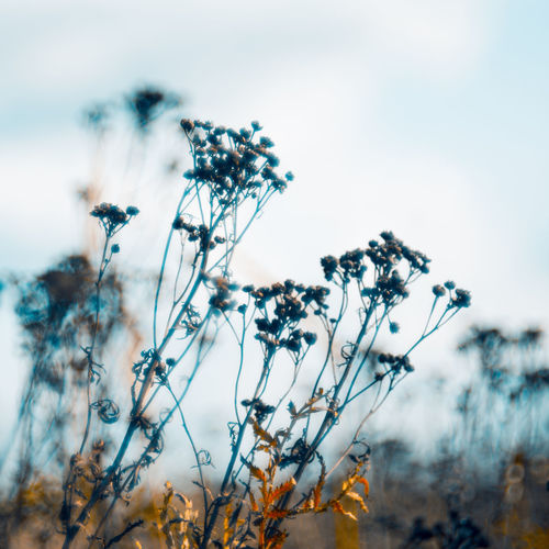 Close-up of wilted plant on field against sky