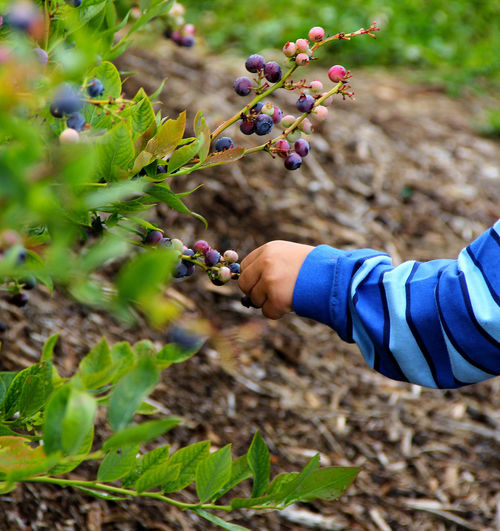 Cropped hand picking blueberries from plant on field