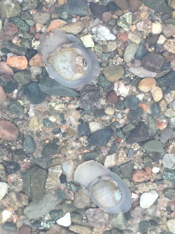 Snails On The Move Seashells Shells Oceanlife Snails Having Fun Beauty In Nature Cape Breton SHELLFISH  Canada Nature Water Beachphotography Crustacean Snail Sand SHELLFISH  Ocean Seasnails SHELLFISH  Outdoors Sea Life Seashell SHELLFISH  Beach Animal Themes