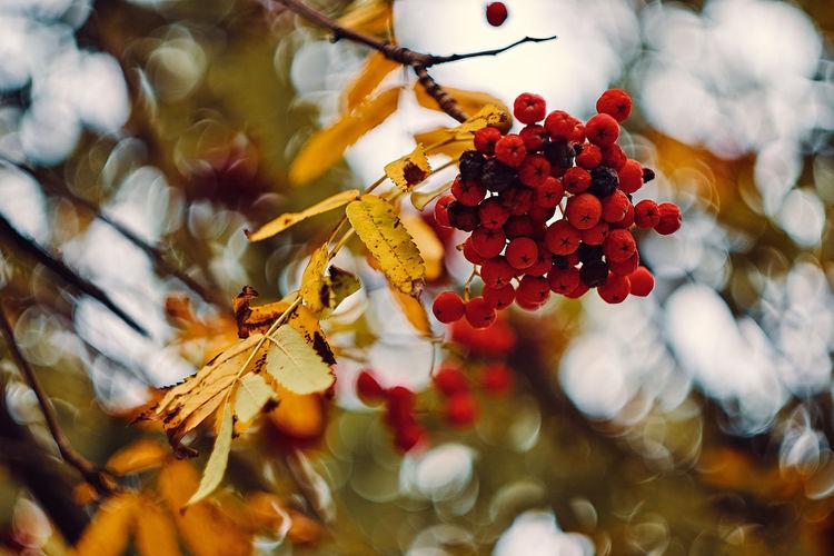Rowan tree with