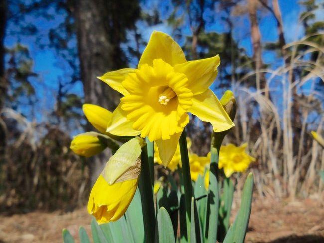 Narcissus Flower Japan Yellow Hitachi Seaside Park EyeEm Flower Today ひたち海浜公園?これから始まる水仙ファンタジーが楽しみ~ Compact Digital Camera