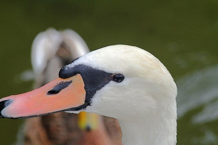 Animal Themes Animal Wildlife Animals In The Wild Beak Bird Close-up Day Focus On Foreground Nature No People One Animal Outdoors Portrtait Swan Water Bird White Color