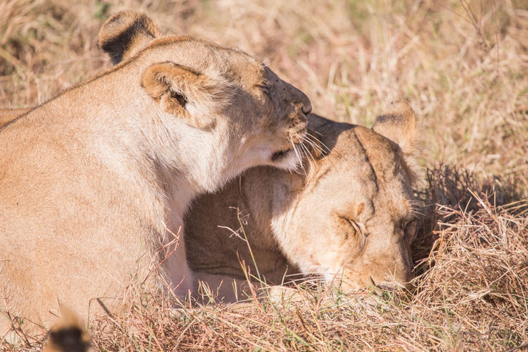 Close-up of lionesses resting on grassy field