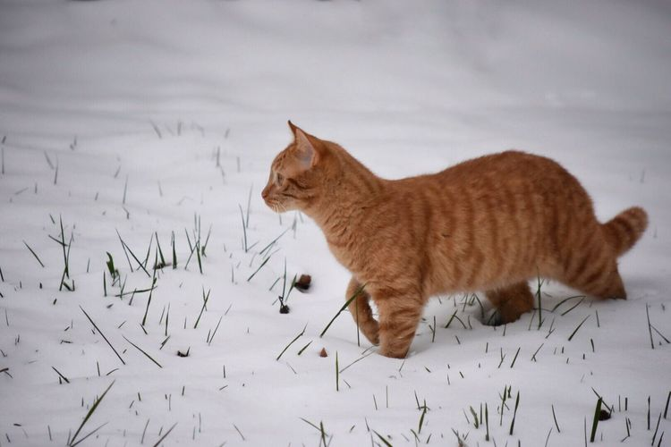 Side View Of Ginger Cat Walking On Snow Covered Field