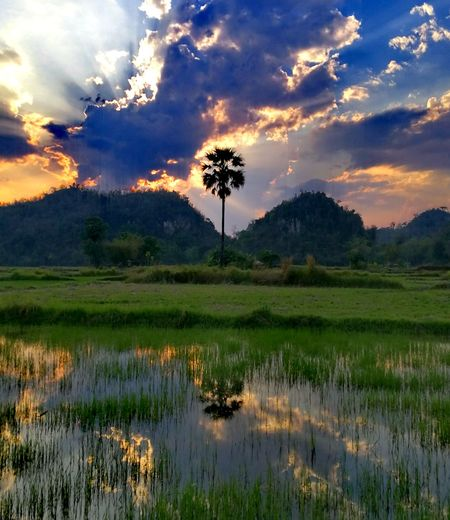 Sunset Landscape Risefield Water Refkections Mountain Growth Reflection Tranquility Thailand🇹🇭 Premium No People Beautiful Tree Rice Paddy Water Sunset Palm Tree Mountain Reflection Social Issues Sky Landscape Tropical Tree Tropical Climate Palm Leaf Farmland Growing Date Palm Tree Pond EyeEmNewHere Stories From The City California Dreamin Going Remote Visual Creativity Adventures In The City The Traveler - 2018 EyeEm Awards The Traveler - 2018 EyeEm Awards The Photojournalist - 2018 EyeEm Awards The Great Outdoors - 2018 EyeEm Awards The Street Photographer - 2018 EyeEm Awards The Creative - 2018 EyeEm Awards Love Is Love The Still Life Photographer - 2018 EyeEm Awards The Portraitist - 2018 EyeEm Awards