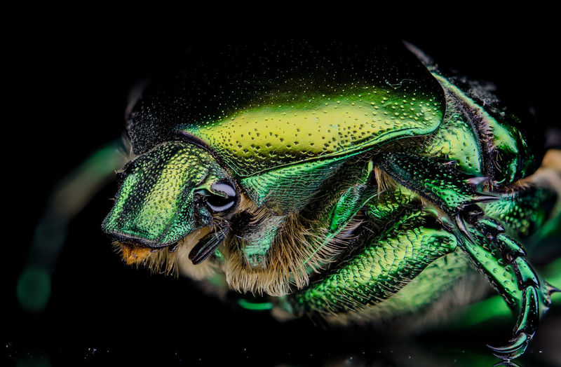 Close-up of green beetle on black background.