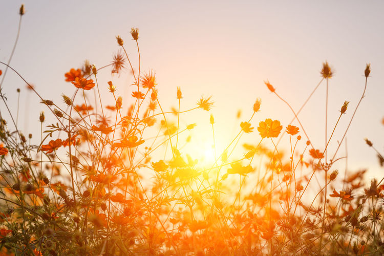 Plant Beauty In Nature Growth Sky Flowering Plant Flower Field Fragility Vulnerability  Nature Freshness Land Close-up Sunset Orange Color No People Tranquility Selective Focus Day Sunlight Outdoors Flower Head