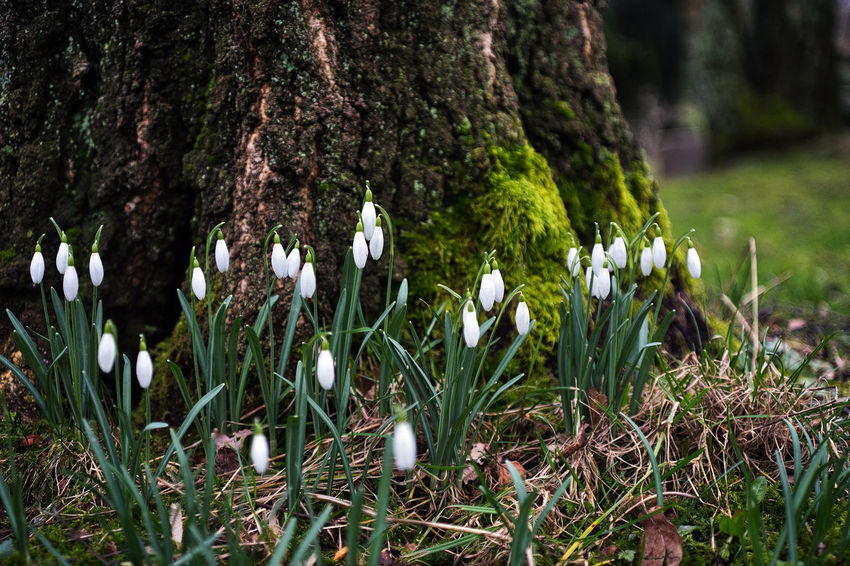 Beauty In Nature Blooming Flower Flower Head Fragility Freshness Growth Nature Plant Snowdrop Tree Tree Trunk