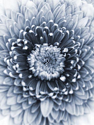 Gerbera Flowers Plants Monochrome Axis