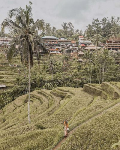 Travel Destinations Tourist Attraction  Village Vertical Composition Scenics Bali Indonesia One Young Woman Only Rear View Strolling Palm Tree Green Fields Rice Planting Harvest Rice Terraces Rice Field Rice Paddy Sky Nature Day Built Structure Building Exterior Architecture Cloud - Sky Plant Outdoors Land Tree Pattern Landscape Field