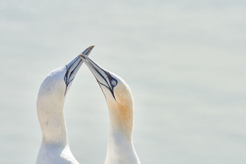 Two northern gannet heads welcome after landing.
