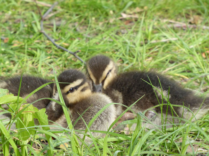 for my Friends 😘adorable babys🤗 Bird Young Animal Young Bird Field Grass Close-up Green Color